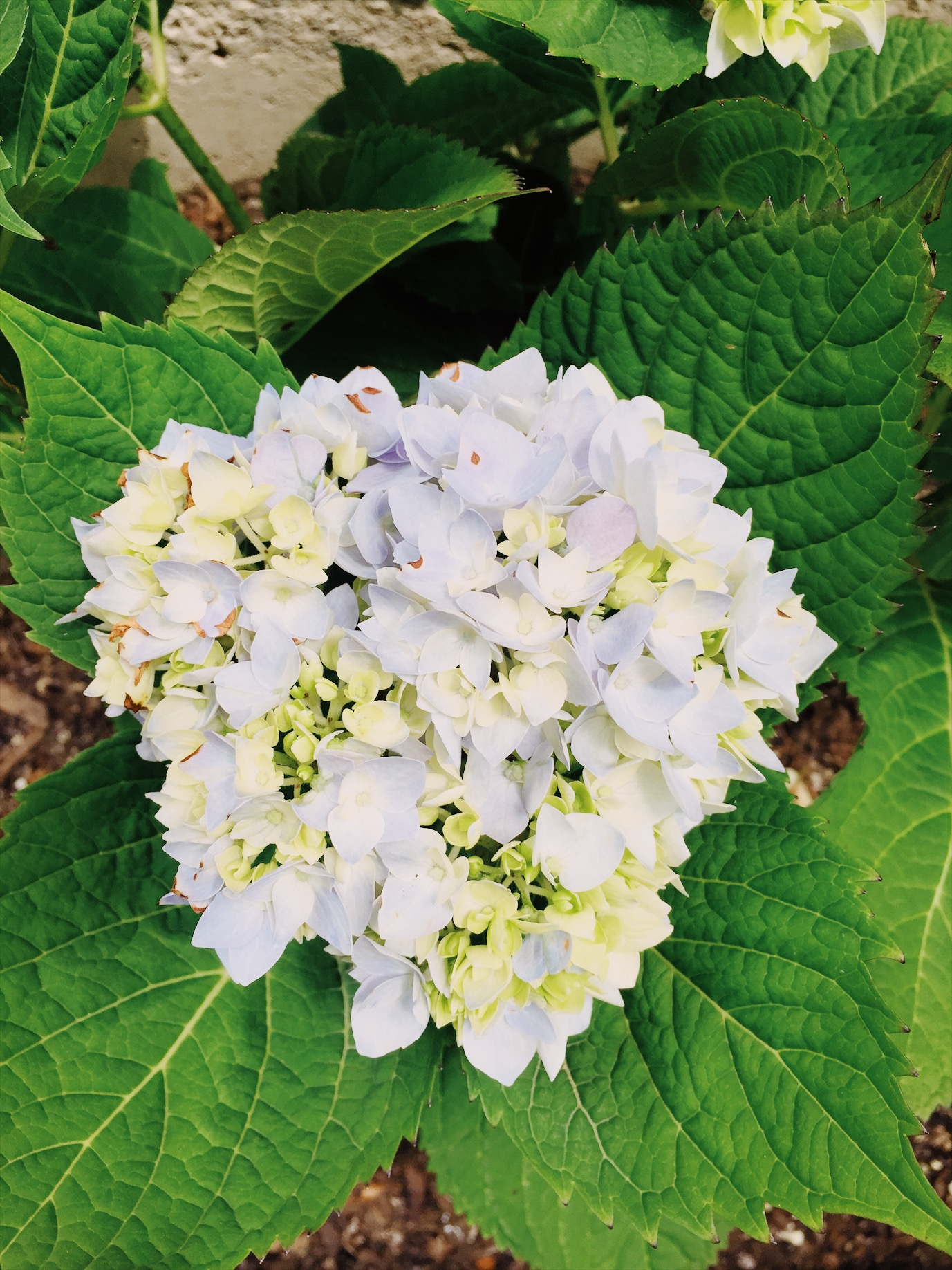We're checking in on my Spring garden and seeing what's growing, like this blue hydrangea!