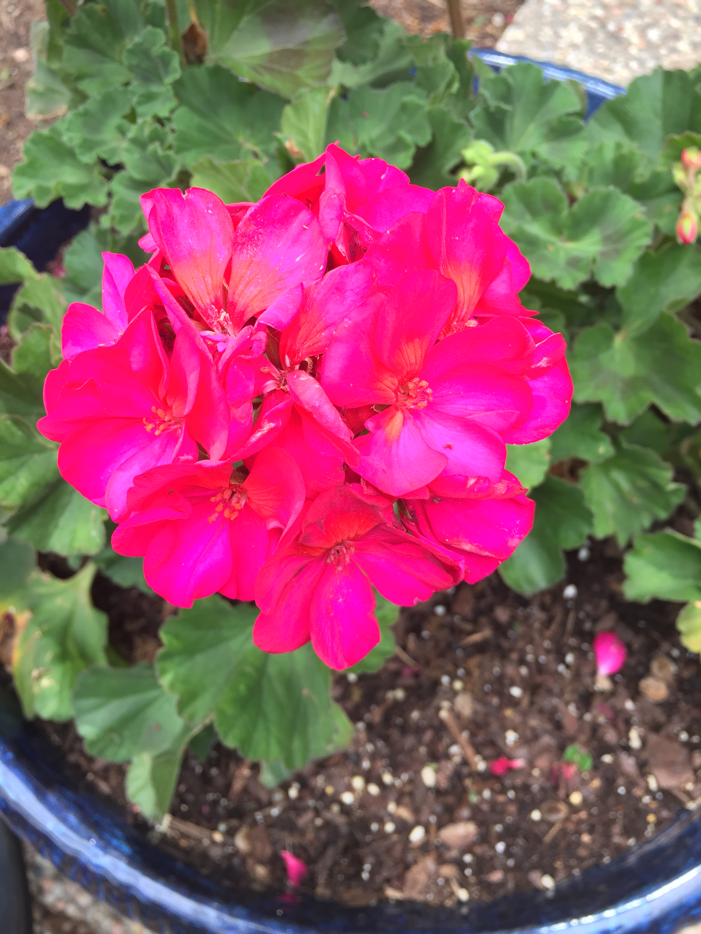 I love simple pots of hot pink geraniums.  They are my favorite thing to grow!